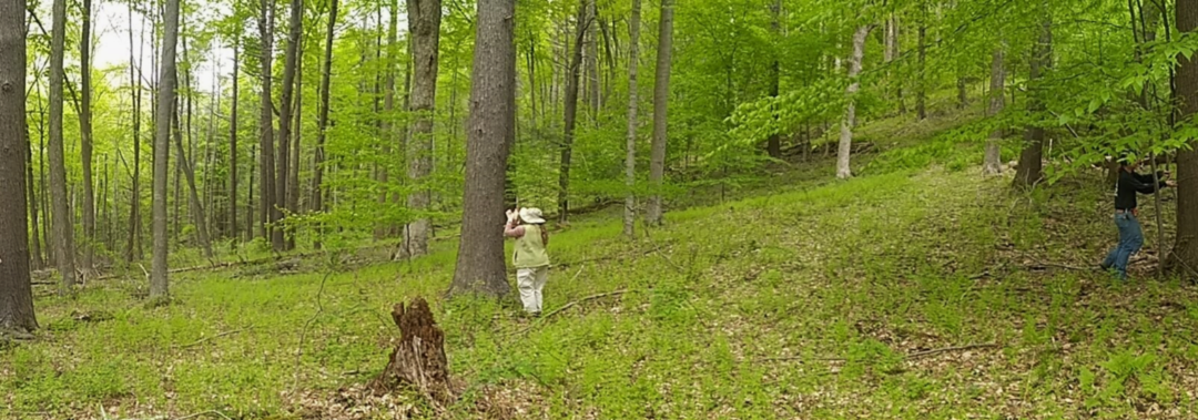 Tree ring research at New Palz